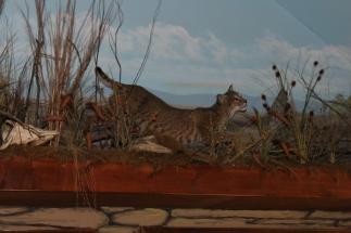 Cypress Bobcat